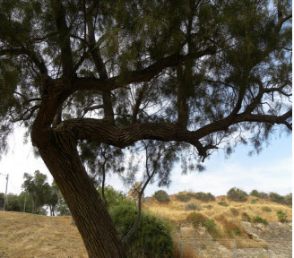 This Tamarisk tree stands on an ancient  site in Isreal
