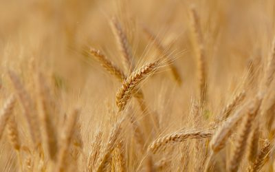 GM Wheat: A Heritable Disaster