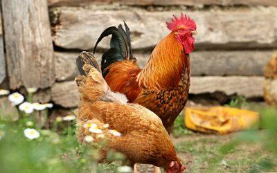 Chicken Manure Fertilizer for Happy Plants